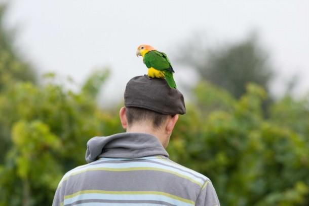 papagei im weinberg