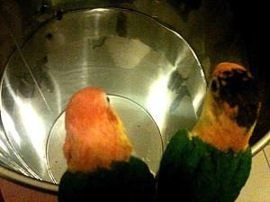 Ein wein fass vor der Reining wird von Papageien geprueft