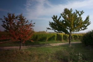 Green Feather Silvaner harvest Vineyard