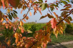 Green feather vineyard autumn